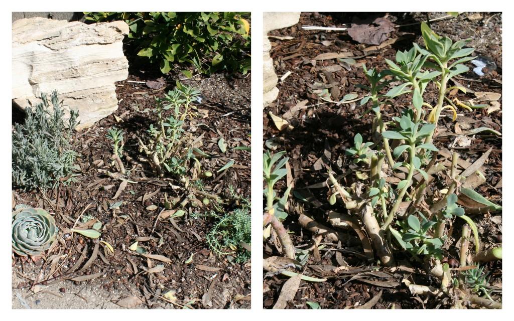 pruning succulents holy regeneration. Black Bedroom Furniture Sets. Home Design Ideas